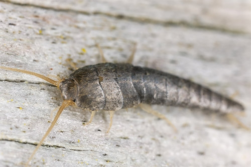 Close up view of a Silverfish